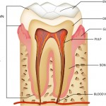 anatomy of teeth