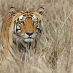 iStock_000016648953XSmall tiger