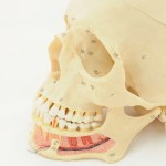 shutterstock_71305408- skull with ID nerve