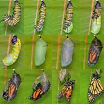 Chrysalis butterfly