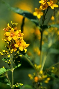 St John's Wort has been used as an alternative to conventional treatments for depression for many years in the UK