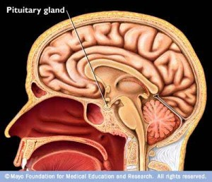 The pituitary gland produces a hormone that results in cortisol being released from the adrenal glands