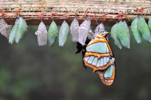 A butterfly hatching out of a chrysalis