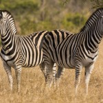 Two zebras in Kruger Park, South Africa