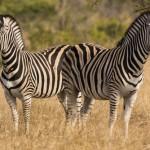 Two zebras in Kruger Park, South Africa