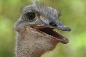 Fact or folklore? Scientists first discovered the anxiety-reducing effect of probiotics on ostriches.