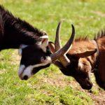 goats-2189621_1280