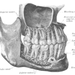 Maxilla, mandible, upper, lower teeth