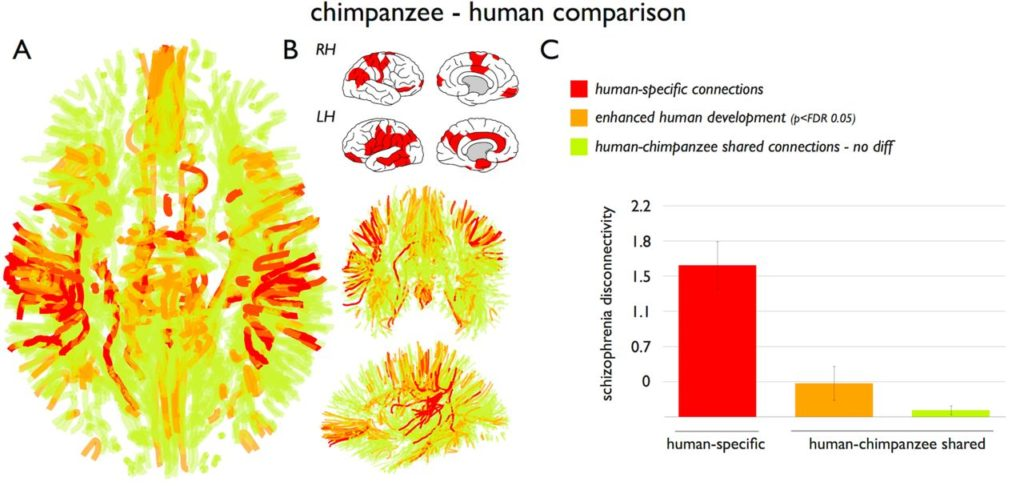 When they examined the shared connections between chimpanzees and humans, they found that the shared connections had much lower levels of schizophrenia dysconnectivity (Figure 3)